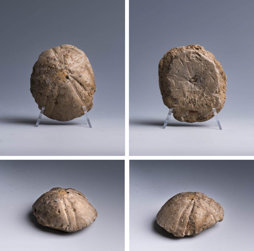 Oursin de Tjanefer (Photographie : Nicola Dell'Aquila/Museo Egizio)